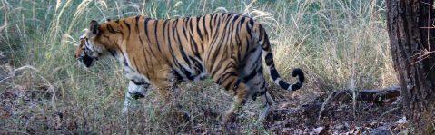 cropped-tigre2.jpg